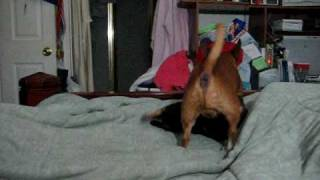 Dogs Playing On Bed