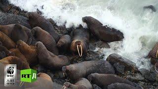 RTД и WWF: «Дикие и свободные». Чукотка. Медвежий патруль. (ТРЕЙЛЕР)