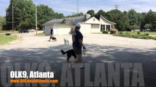 Off Leash Responsive With Heavy Dog Distractions | Pug - Boxer Mix | Atlanta Dog Training