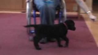 Labrador Puppy Clicker Training