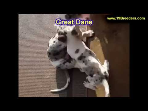 Great Dane, Puppies, Dogs, For Sale, In Saint Louis, County, Missouri, MO, 19Breeders, Columbia