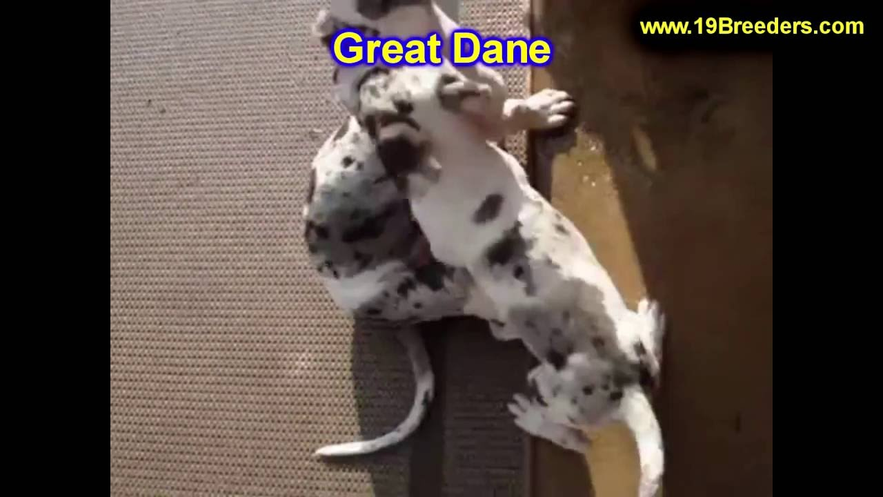 Great Dane, Puppies, Dogs, For Sale, In Saint Louis ...