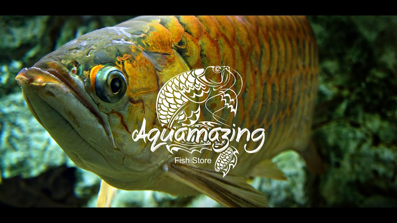 Aquarismo Visita - Loja Aquamazing Fish Store