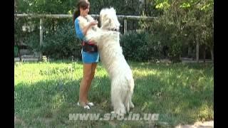 О породе южнорусская овчарка. Богемия Крым Ак-Кая
