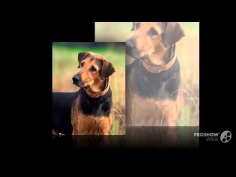 Гончая шиллера порода собак