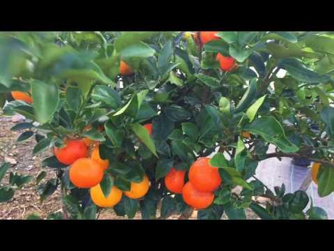 Citrus Fruit Salad Tree Fruiting