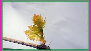 Виноград весной.  Критическая фаза и полив