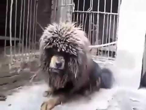 Tibetan Mastiff Dog in Angry Mood .