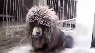 Tibetan Mastiff Dog in Angry Mood .