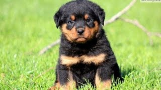 Rottweiler, Puppies, For, Sale, In, Bridgeport, Connecticut, Ct, Newington, Manchester, Naugatuck, T