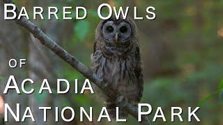Barred Owls of Acadia