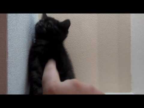Шотландский котёнок черный дым (скоттиш-страйт)