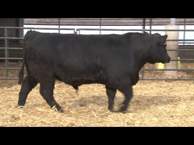 Schiefelbein Angus Farms Lot 60