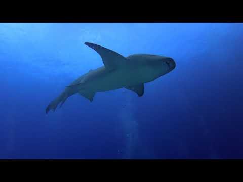 maldives-scuba-diving-november-2019,-emperor-explorer,-manta-rays,-sharks