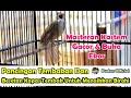 Pancingan Tembakan Dan Besetan Burung Kapas Tembak Untuk Menaikkan Birahi Bahan Agar Mudah Buka Ekor  Mp3 - Mp4 Download