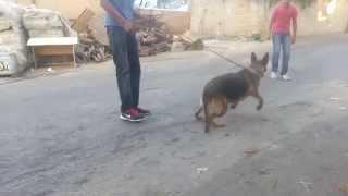 تدريب الكلاب على الهجوم والحراسه الشخصيه