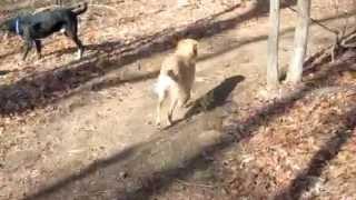 Ginger Is A Fhgrr Golden Retriever Rescue