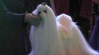 Crufts Maltese Open Dog 09