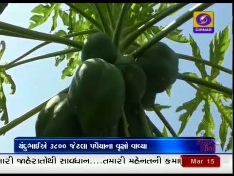 This Gujarati farmer sells quality papayas to Haryana and Chandigarh