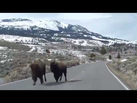 MUST SEE & SHARE ! SUPERVOLCANO ? YELLOWSTONE BUFFALO RUNNING FROM THE PARK ( APRIL 2014 )