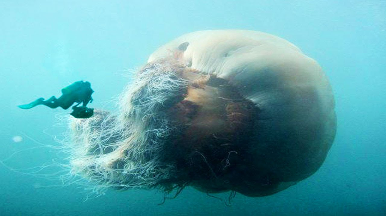 World S Biggest Jellyfish Youtube