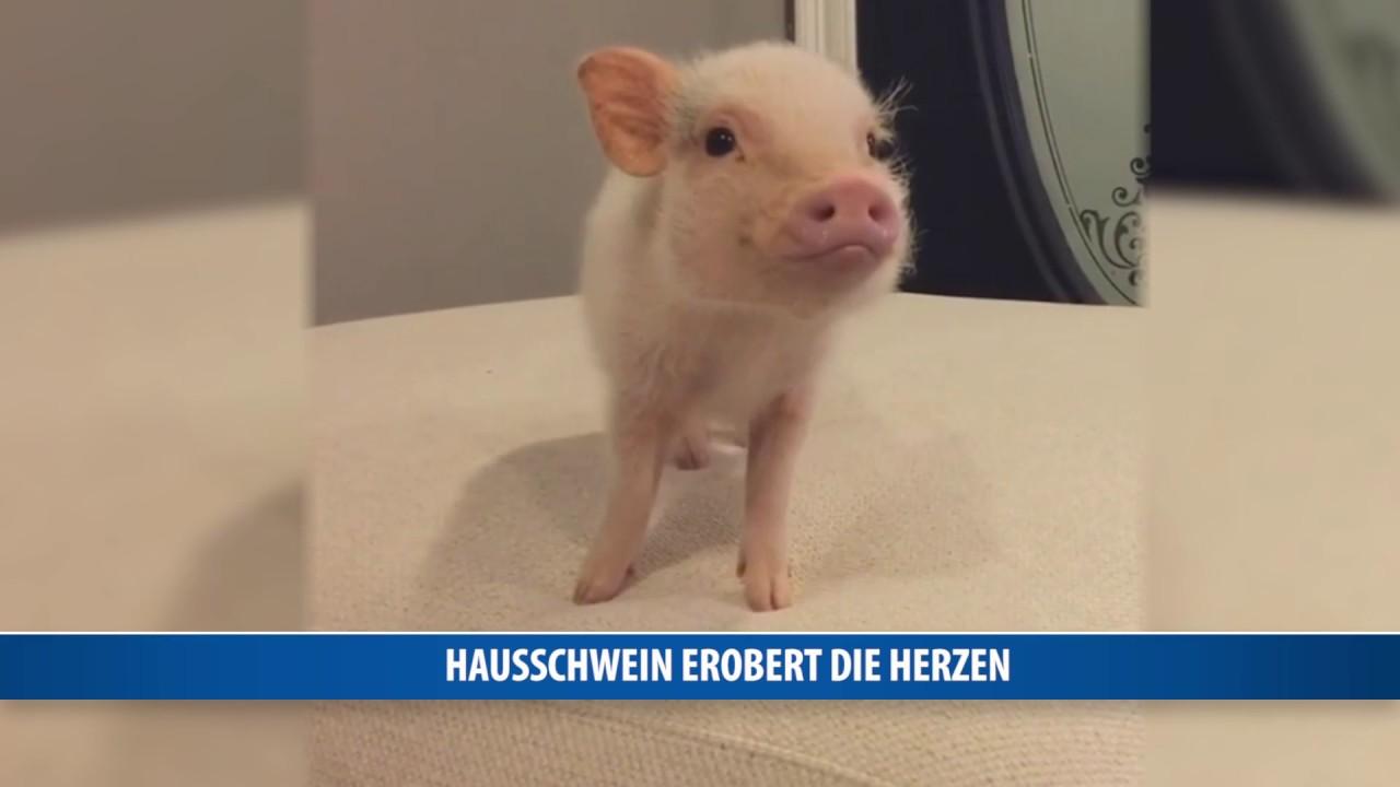 Hausschwein Hank Erobert Herzen Youtube