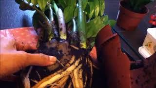 Repotting a  very pot bound ZZ plant