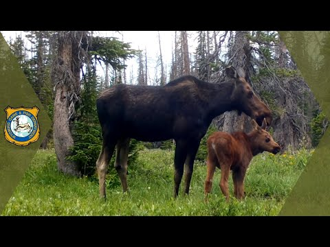 Wyoming Wildlife - Trail Cam Footage Compilation