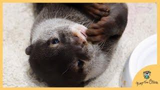 食いしん坊カワウソのビンゴをノーカットでご覧下さい(Otter Bingo the big eater (unedit) thumbnail