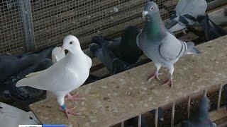 В Сочи разводят спортивных голубей