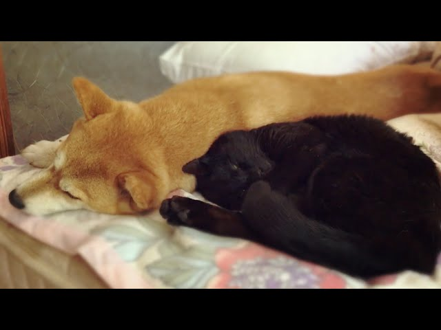 眠そうな犬と猫をなでなですると Pet the sleepy dog and cat