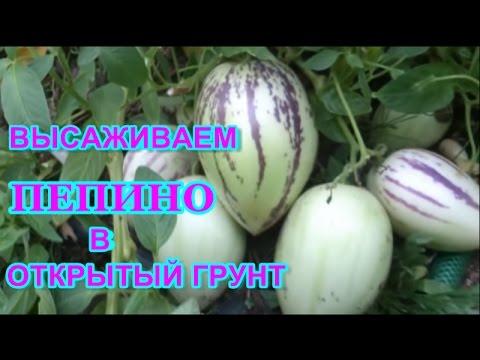 груша плод