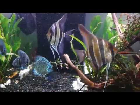 Full Size Altum Angels  And Discus