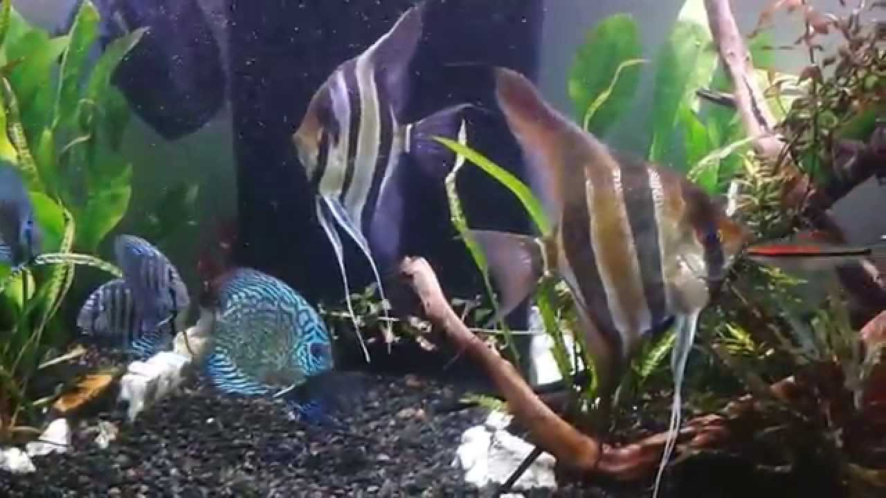 Angelfish Size Peopledavidjoel