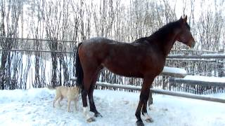 Правильная реакция лошади на собаку.