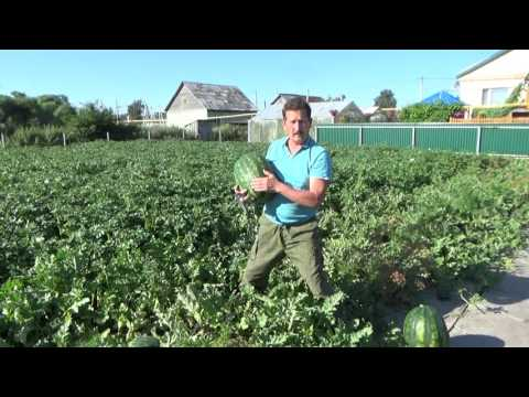 Как растут арбузы на бахче