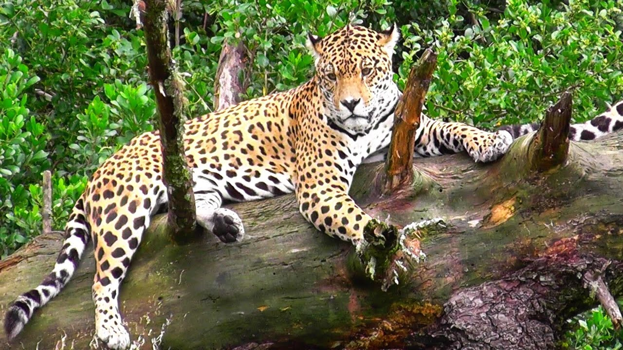 Leopards-beautiful big cats - YouTube - photo#10
