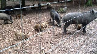 2013 08 05 Sangliers de l'enclos d'Anost