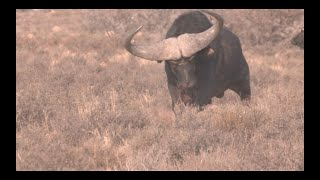 Buffalo Hunting with a Great Outfitter in 4K by African Safari Photo.