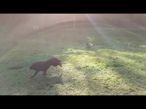 Eurasier fleeing from vicious Lapphund! - sort of. ;)