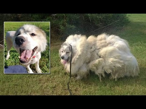 Neglected Dog Looks Unrecognizable After Getting 35 Pounds of Hair Shaved Off
