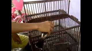 Download Video Jerat Burung pake kandang jebak MP3 3GP MP4