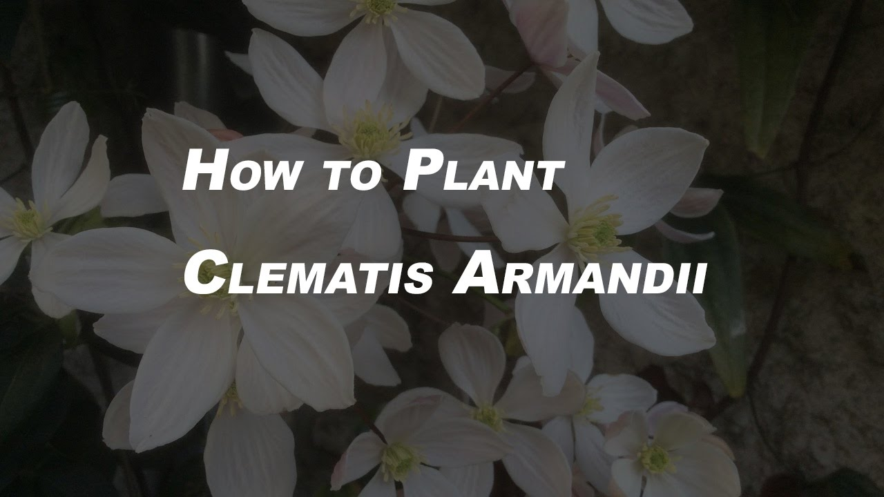 Basic Gardening Tips for Beginners How to Plant Clematis Armandii