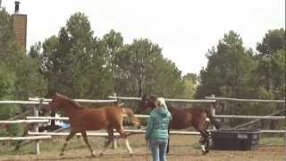 Limoncello Ii Holsteiner Gelding Yearlings For Sale!