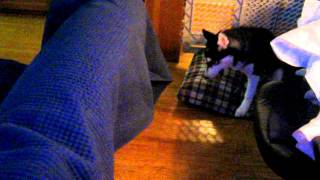 Puppy Fight In A Tiny Apartment Husky Vs. Westie