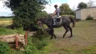 Ragnor Rebel, 17hh,  7 year old gelding for sale in show and go