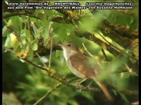 Gesang der Nachtigall im Wald - Luscinia megarhynchos