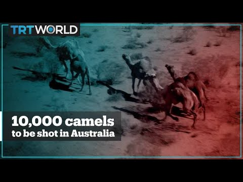 10,000 Camels In Australia Are Being Shot Due To Drought
