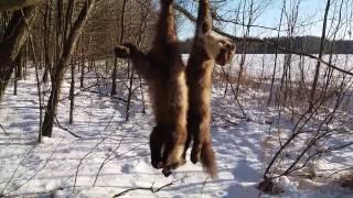 охота на куницу. волк принес удачу. trapping