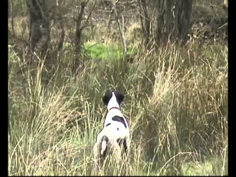 4.5 month English Pointer Training
